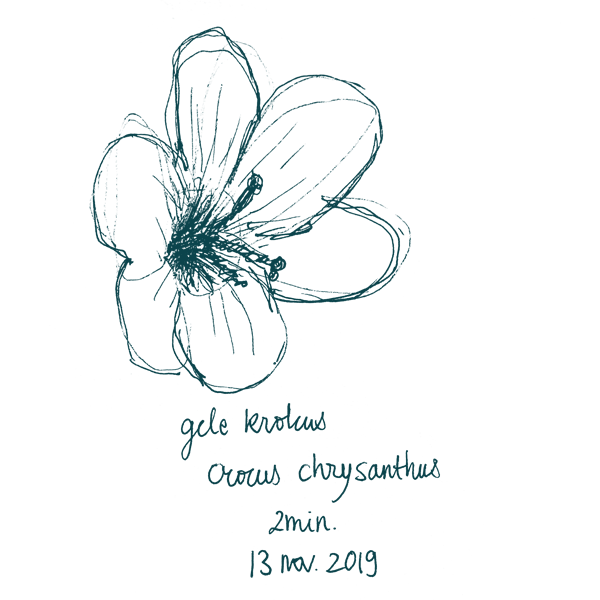 flower golden crocus