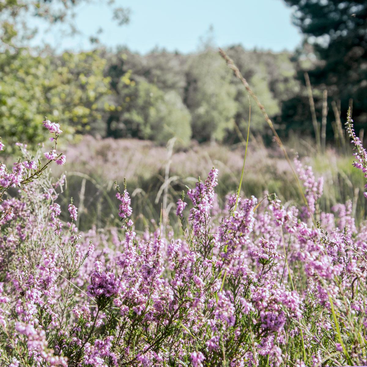 Purple Heathland Galderse Heide
