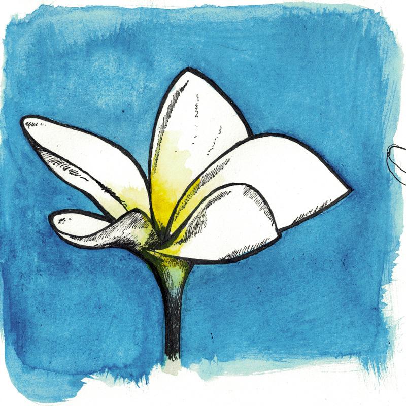 Watercolour sketch of frangipani