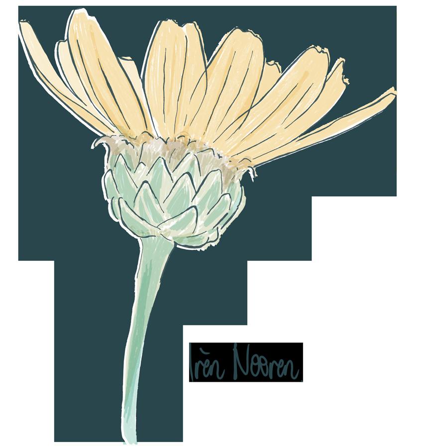 Illustration of a Corn daisy