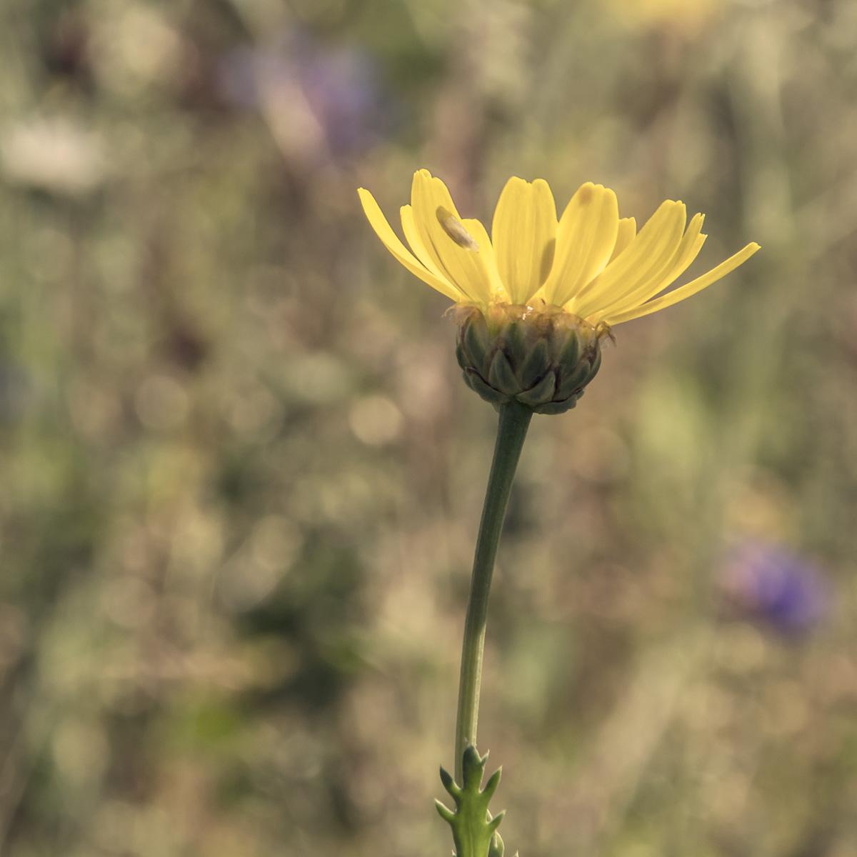 Photo of a Corn daisy