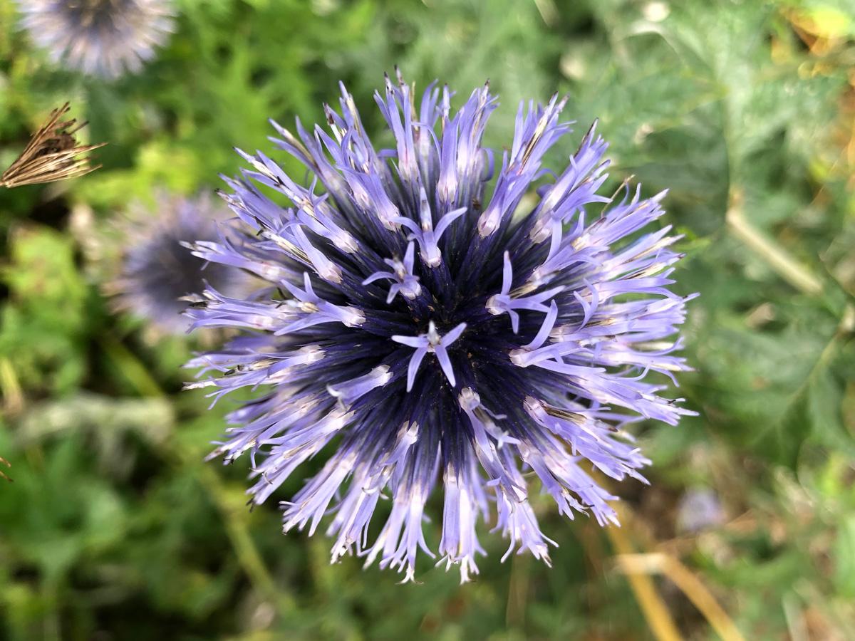 purple thistle flower close-up